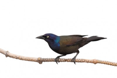 full profile of grackle as it prepares of flight