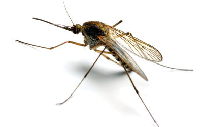 World Malaria Day: Song of the Mosquito