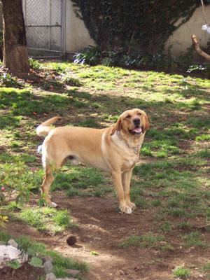 Rex the labrador retriever